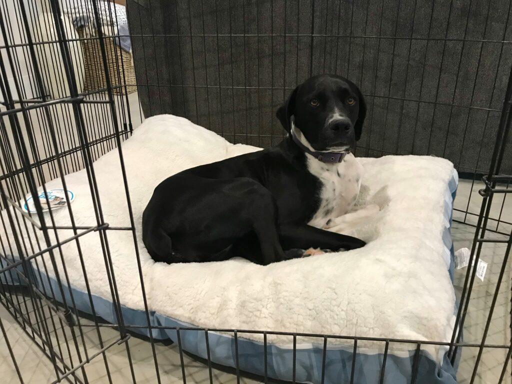 Lucy in her black metal dog crate with door open